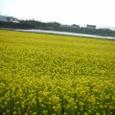 S20090318_2菜の花畑